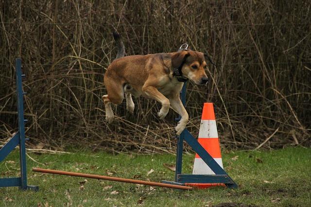 skákání psa přes překážku