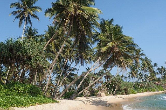 srí lanka palmy